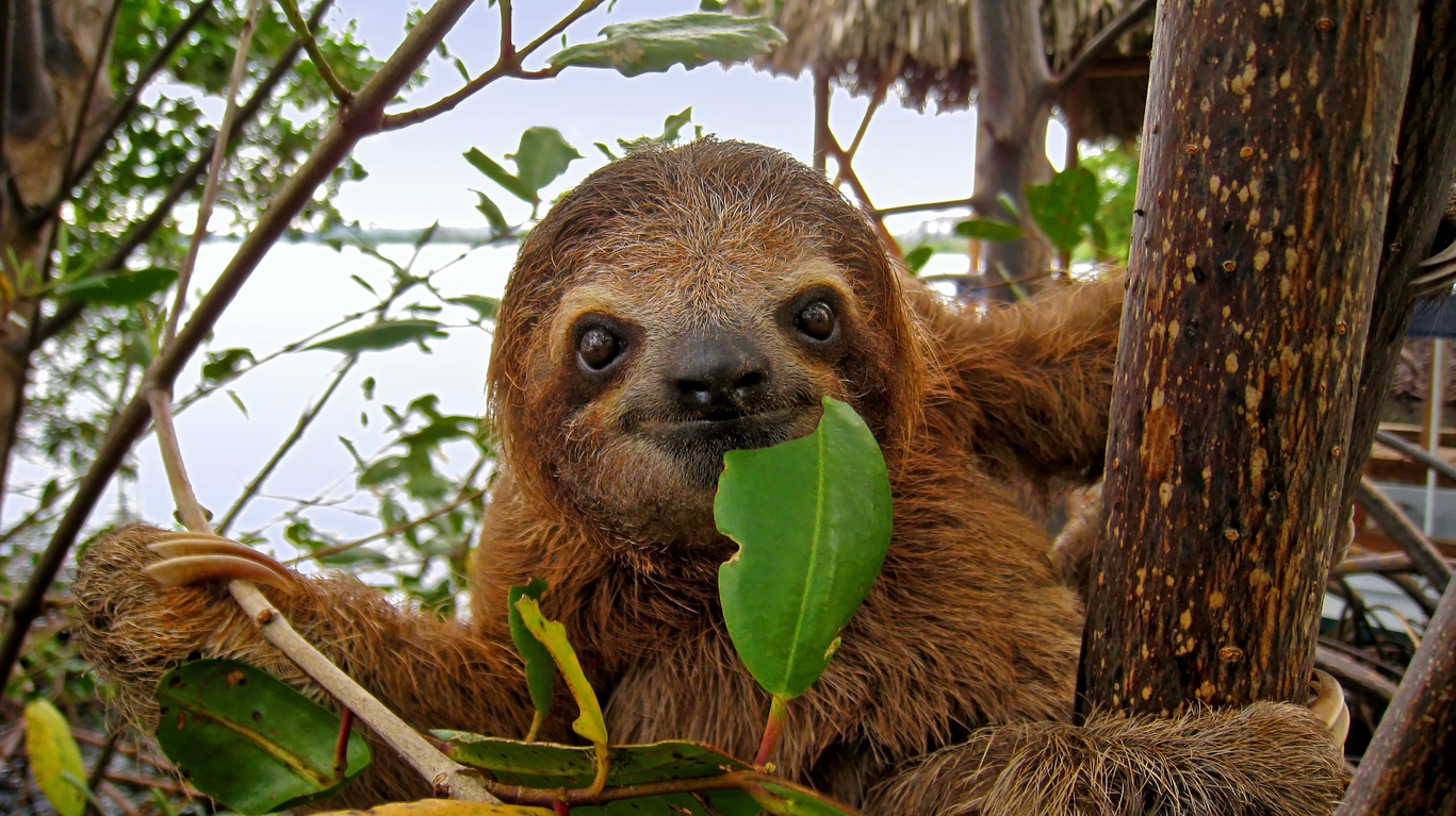 sloth with leaf in mouth in costa rica