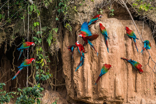 Amazon Tours Macaws